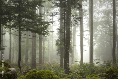 Lovely foggy forest tree landscape. - 155298787