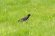 starling on green grass