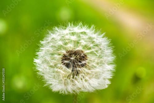 Dandelion on a green Background. © PicItUp