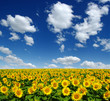 Quadro field of blooming sunflowers