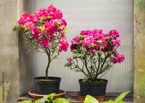 Plexiglas Azalea Azalea flower in the pots