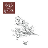 Sage hand drawing. Herbs and spices. Vector illustration sketch - 155452179
