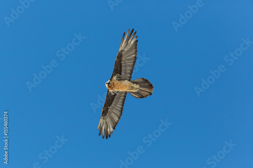 Poster Flying adult bearded vulture (Gypaetus barbatus) with blue sky