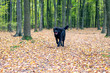 black shaggy Newfoundland dog running through yellow leaves in the forest