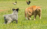 Ginger cat in a threatening stance, bowing his back up to confront a puppy - 155513761