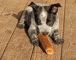 Texas Heeler puppy chwing on rawhide stick in morning sun