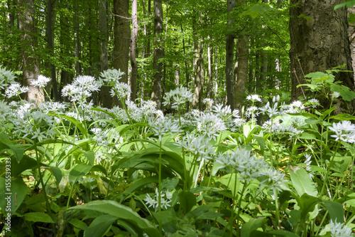 Tuinposter Weg in bos Bärlauchzeit