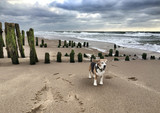 Beagle Hund auf Sylt am Meer mit Buhnen im Hintergrund - 155547587