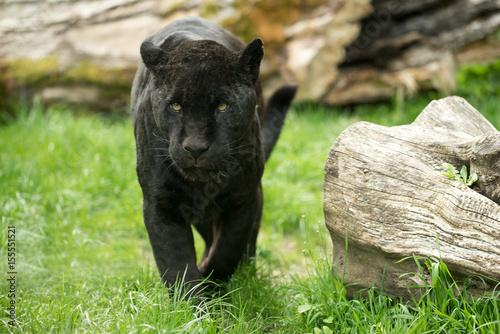 Foto op Plexiglas Panter Schwarzer Panther