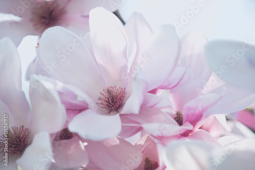 Fototapeta pink sakura or cherry blossom in spring season, japan