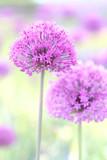 Lilac bowls of decorative onion blossoms