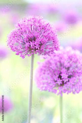 Fotobehang Purper Lilac bowls of decorative onion blossoms