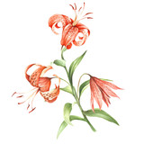 Image Tiger lily flowers. Hand draw watercolor illustration - 155629388