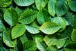 Quadro the  Fresh tropical Green leaves background