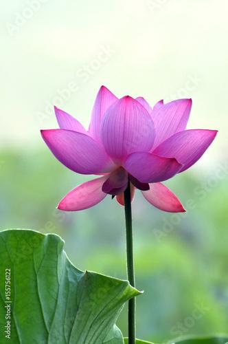 Blossom lotus flowers Poster