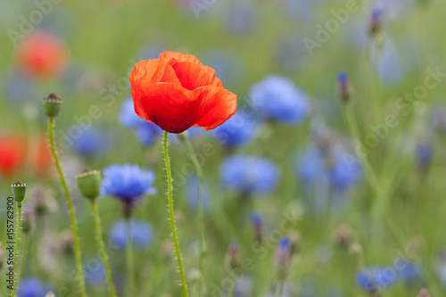 poppy in blue