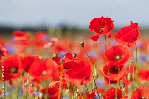 Fotobehang Klaprozen field of poppy