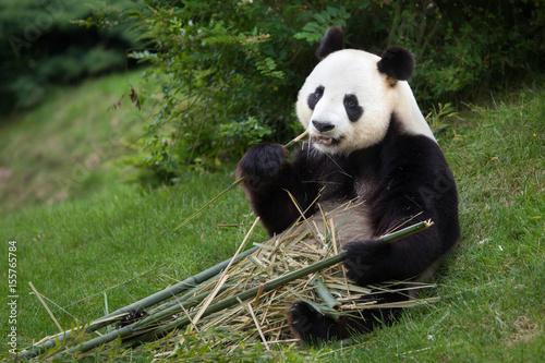 Plexiglas Panda Giant panda (Ailuropoda melanoleuca).