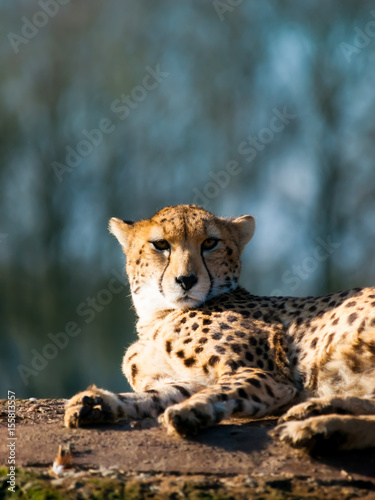 Cheetah lying on the floor portrait, closeup, in his natural habitat Poster