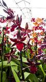 Orchid Cambria Colmanara Massai 'Red'