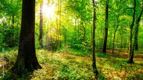 Papiers peints Vert Sonnenaufgang im Wald
