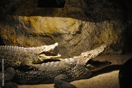 Poster Two Nile crocodiles (Crocodylus niloticus) lie together with open mouths