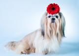 Shih tzu with flower portrait