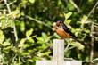 Male Barn Swallow