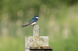 tree swallow and birdhouse