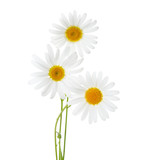 Three flowers of Chamomiles  ( Ox-Eye Daisy ) isolated on a white background - 156121125