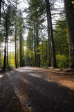 Road in forest with sunshine and shadow evergreen trees