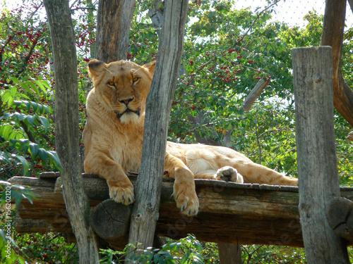 Poster Löwe Eine Löwin liegt friedlich in der Sonne.