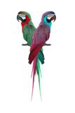 couple macaw isolated on white background