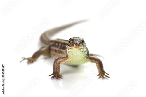 Brown lizard isolated on white Poster