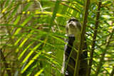 Sykes monkey in Jozani forest, Zanzibar, Tanzania - latin name: Cercopithecus albogularis
