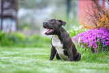 Portrait of a beautiful staffordshire bull terrier puppy  - 156312758