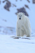 Polar bear of Spitzbergen (Ursus maritimus)