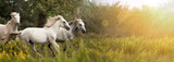 Piękne białe konie w polu