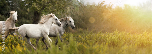 Fotobehang Paarden Beautiful white horses running in the field