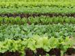 初夏の野菜畑