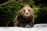 North American Grizzly Bear in snow in Western Canada - 156444775