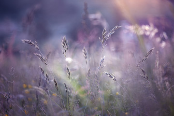 Blurred morning colorful meadow grass background. Magenta color tone and selective focus used.