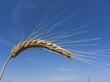wheat field - 156492530