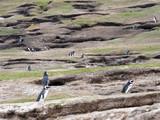 Large nesting colonies of Magellanic Penguin, Spheniscus magellanicus, Island of Sounders, Falkland Islands-Malvinas