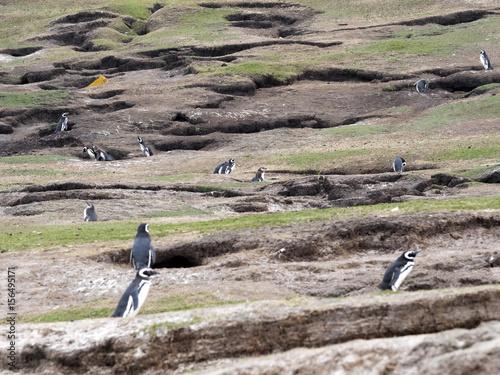 Plakát Large nesting colonies of Magellanic Penguin, Spheniscus magellanicus, Island of