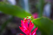 Red-eyed tree frog on the flower, Costa Rica rain forest