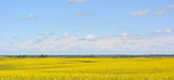 Beautiful spring rural horizontal landscape: yellow field of flowering rape on blue sky background with clouds, agriculture, nature,countryside,panorama