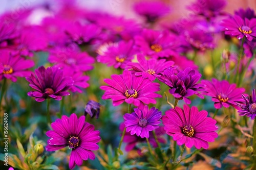 Pink and purple African daisy osteospermum flower in bloom - 156624969