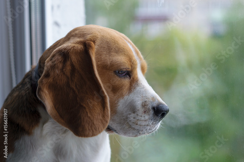 The Beagle on the windowsill looking out the window Poster