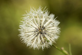 white common dandelion blowballs - taraxacum officinale